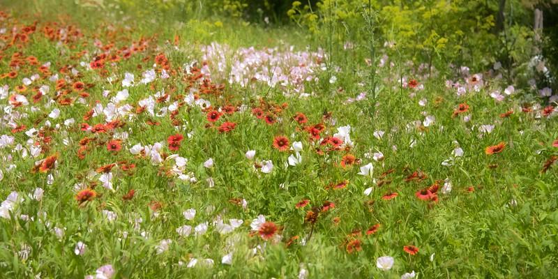 wildflowers042019-3.jpg
