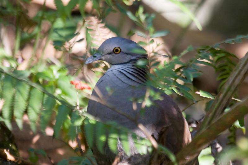 White-throated Quail-Dove (2) at Machu Picchu Pueblo Hotel, Aguas Calientes, Peru (2008-07-05).psd