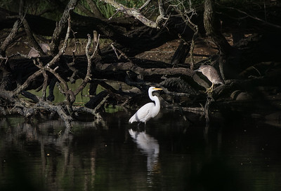 Great Egret Colony