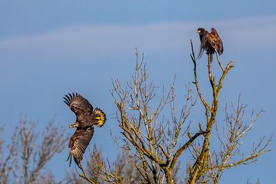 Bald Eagle -- Tree Top Dispute