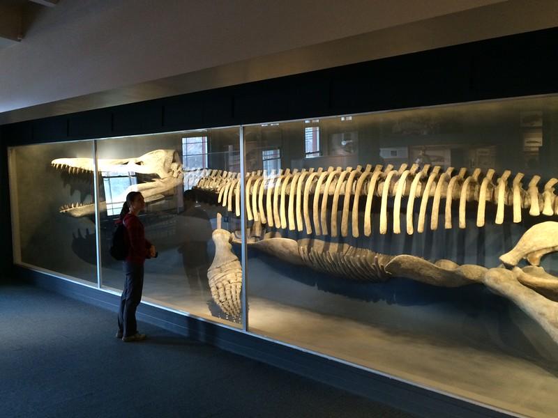 Whale skeleton. Yuliya for scale
