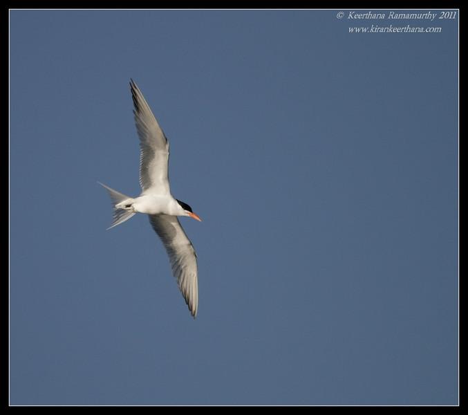 Royal Tern, Robb Field, San Diego River, San Diego County, California, April 2011