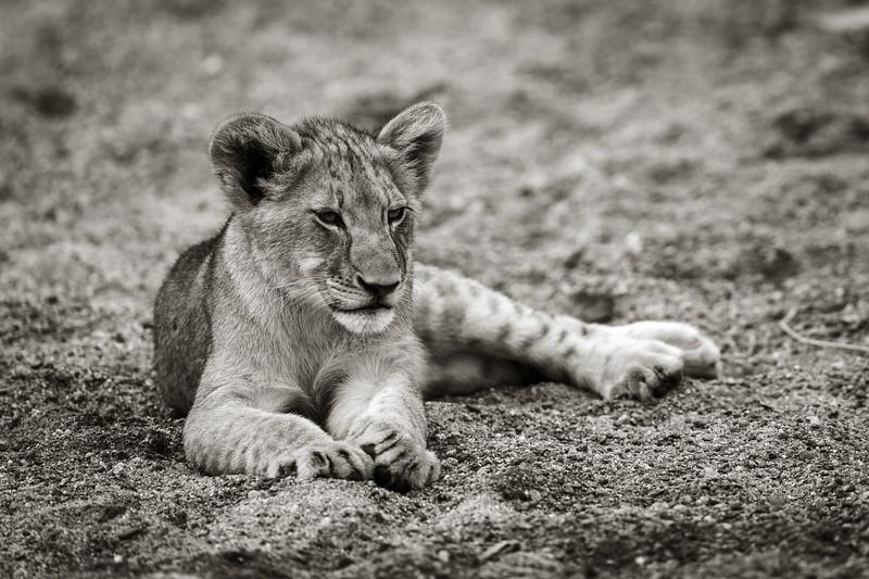 Resting Lion Cub