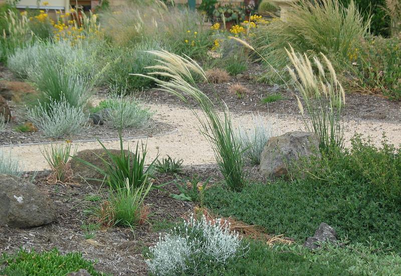 Young Garden, Grass is Dichelachne crinita (Long Haired Plume Grass)
