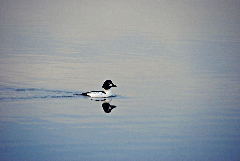 Common Goldeneye Seattle, WA