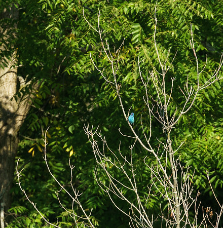 Indego Bunting at Baker Woods Preserve