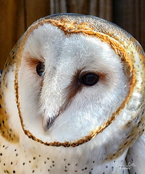 _DSC0981 barn owl.jpg