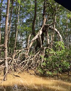 Costa Rica - Mangrove Forest 2017