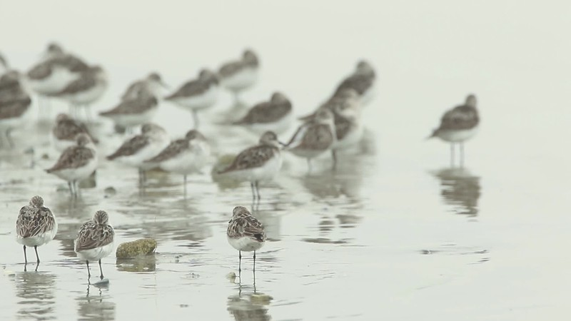 Semipalmated sandpipers at Pine Point, Scarborough, Maine