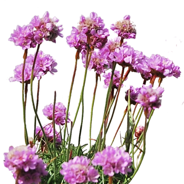 sea_thrift_png___by_alzstock-d5rgi5j.png