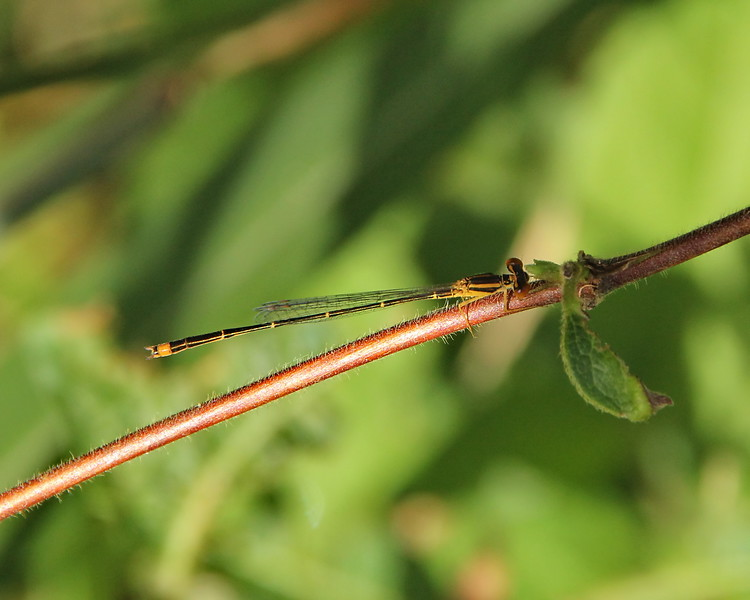Orange Bluet, male