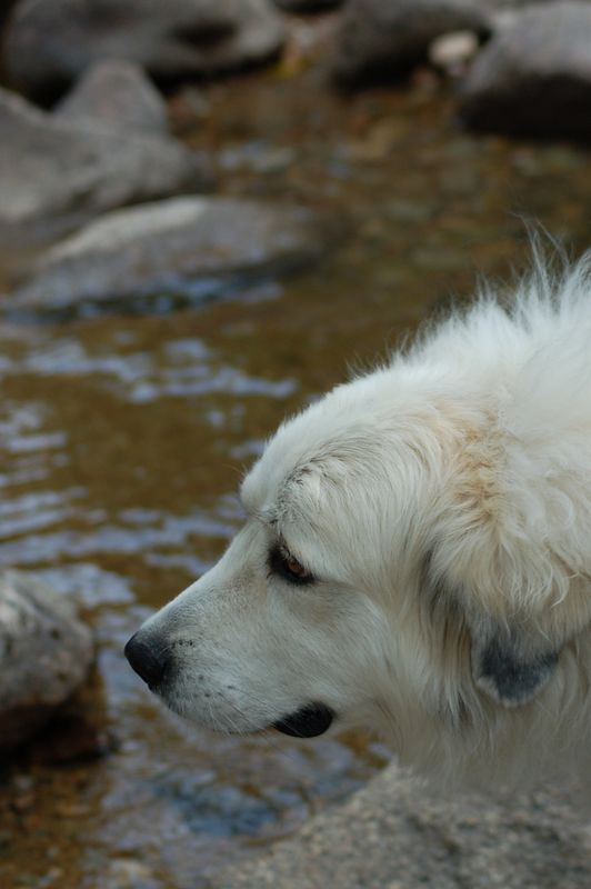 Nessa Marie - the Great Pyrenees