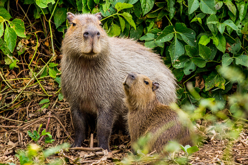 Capybara of the Pantanal, Brazil-12.jpg