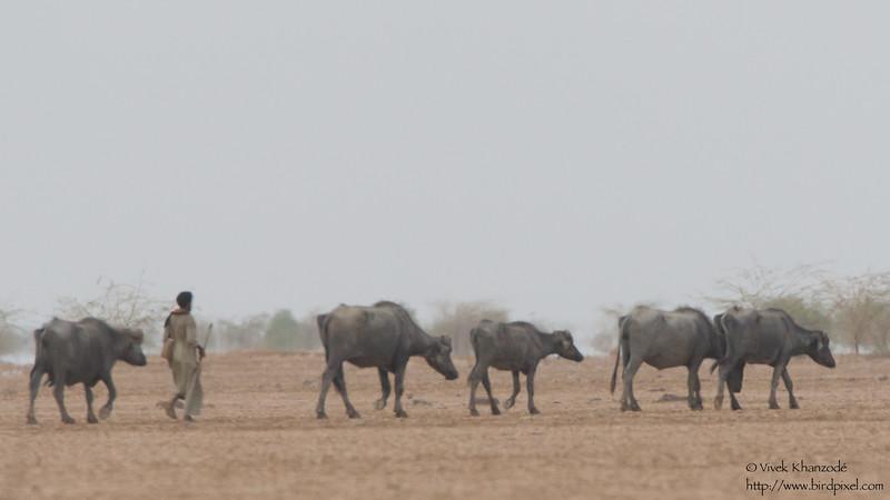 Buffalo herder - Kutch, Gujrat, India