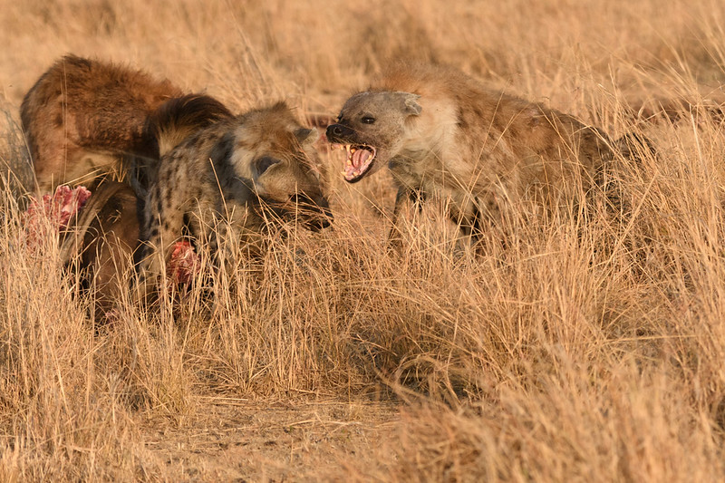 Hyena fighting over kill