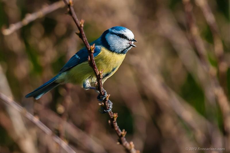 Blåmejse (Cyanistes caeruleus - Blue Tit), der kalder, Lyngby Åmose - marts 2012