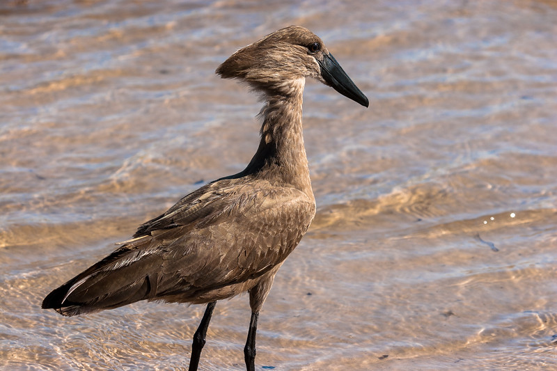 Hammerkop looking for a meal in the water