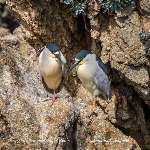 _DSC0118Black-crowned Night Heron.jpg