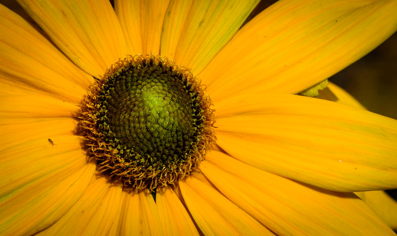 black eyed susan -7680.jpg