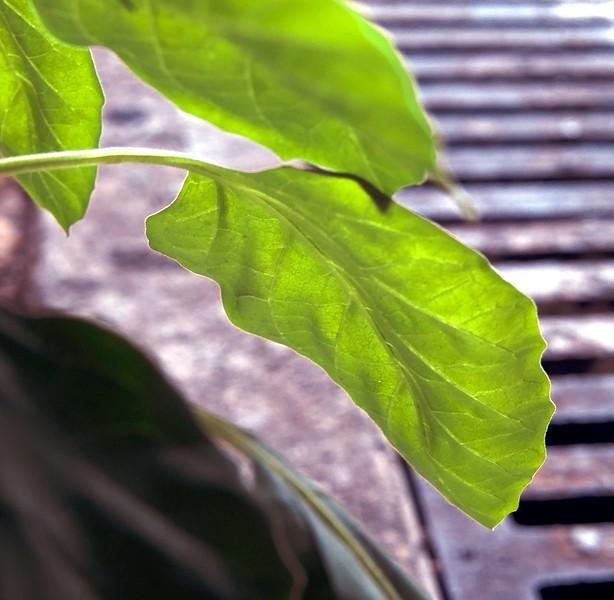 green leaves-7743 two.jpg