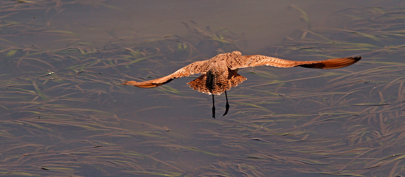 Marbled Godwit fly-in over Bodega Bay Channel neap tide