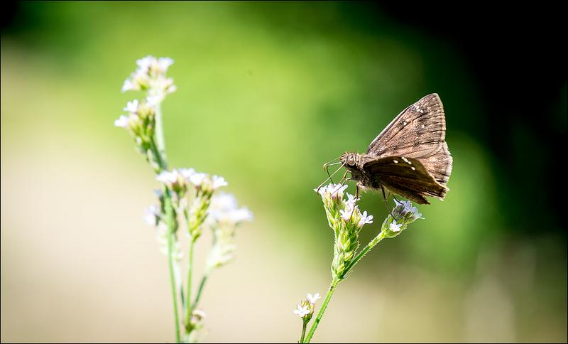 Brown Butterfly 1.jpg