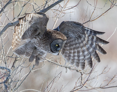 Great Gray Owl Hunt
