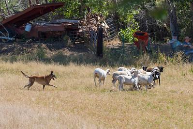 BSCA Sept Herding Tests/Trials 2019