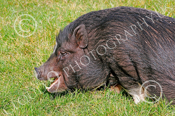 Pot Belly Pig Wildlife Photography