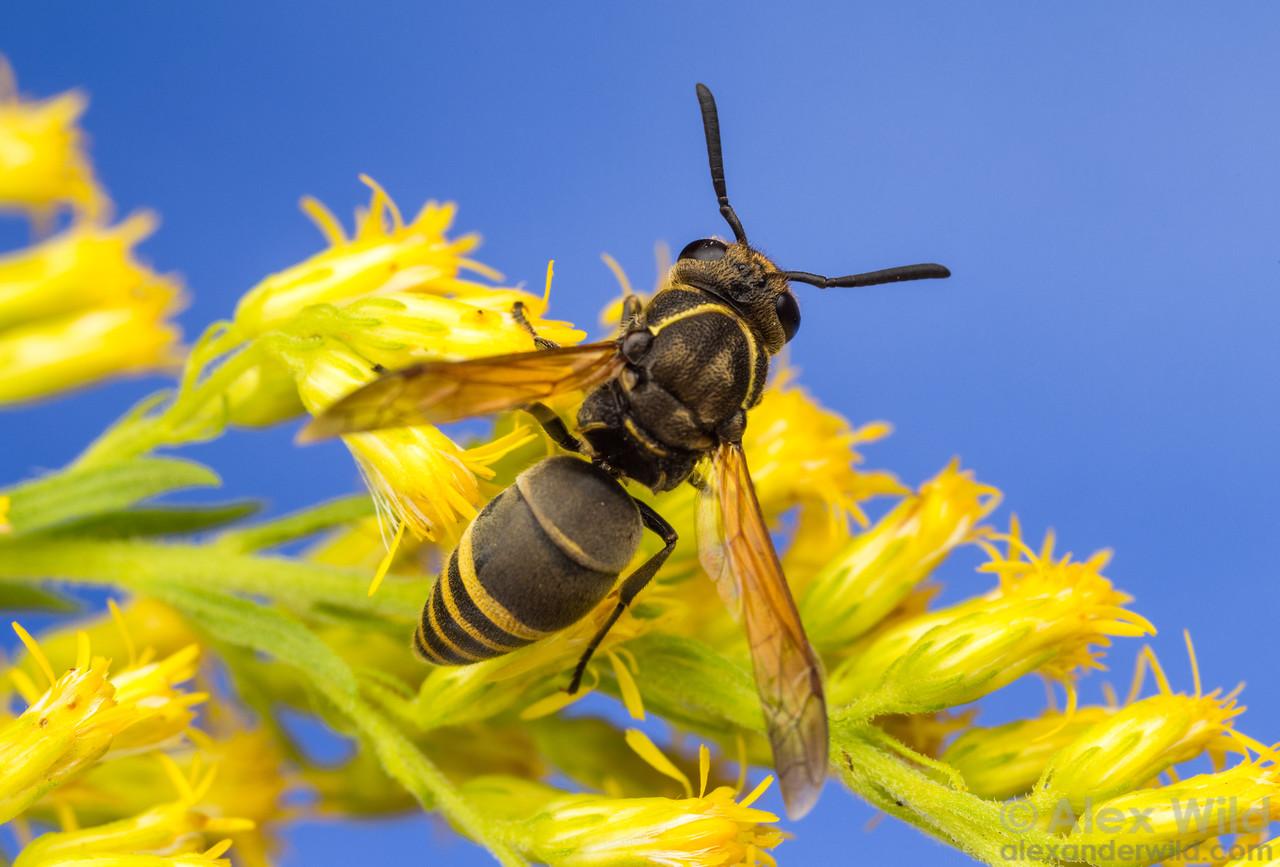 Pachodynerus pulverulentus