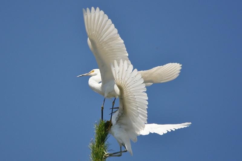 Egret Antics 10.JPG