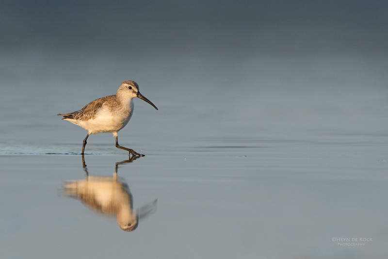 Curlew Sandpiper, Lake Wollumboola, NSW, Nov 2014-2.jpg