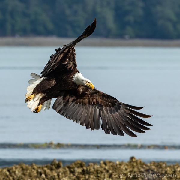 Bald eagle along the Hood Canal near Seabeck, Washington.