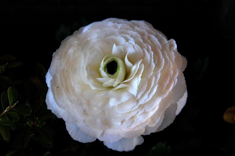 2017 nantucket white rose.jpg