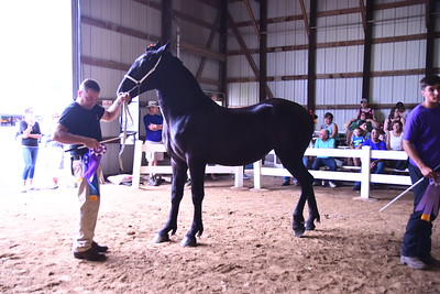 Jr Percheron Mare