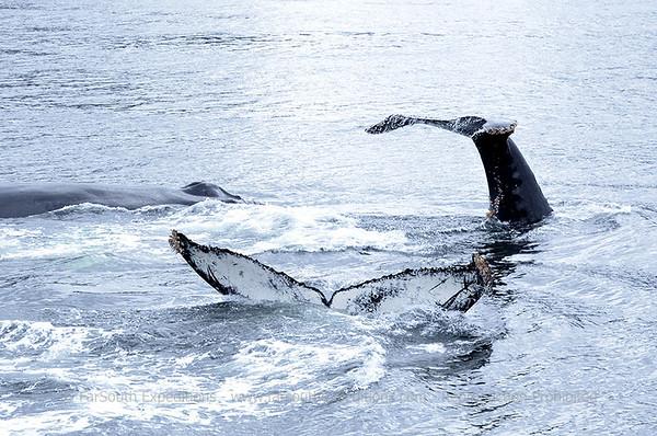 The Humpbacks of Coloane Marine Park, Patagonia