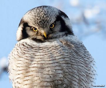Ugler / Owl