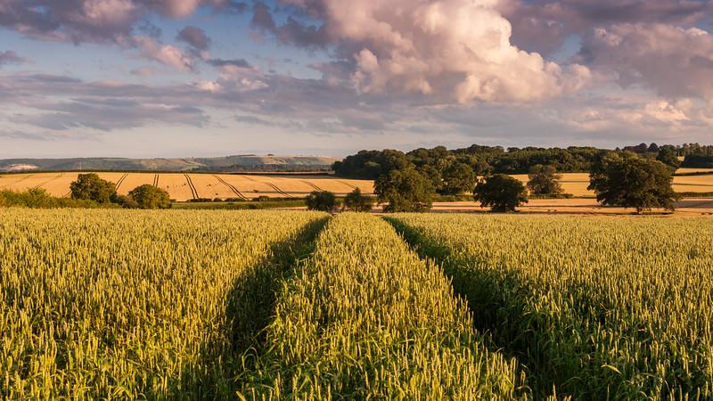 Wheat field in Dorset
