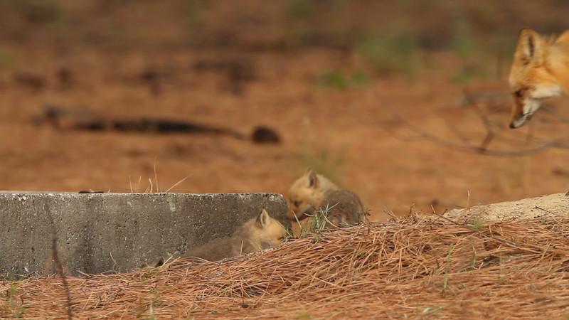 Red fox den
