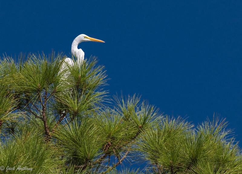 Great White Heron, Cape San Blas, Fla.