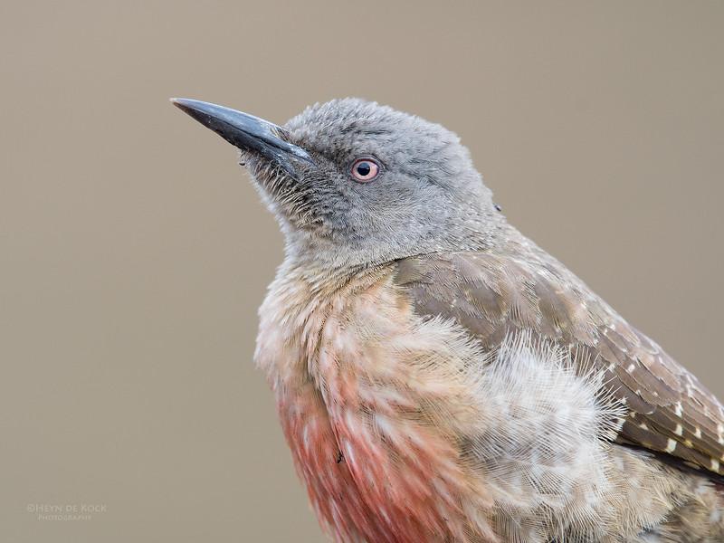 Ground Woodpecker, Goldengate NP, FS, SA, Oct 2016-3.jpg