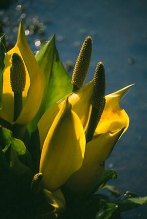 Lysichiton americanum close-up
