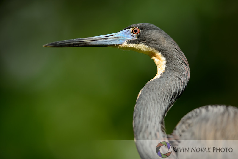 Tricolored Heron.   St. Augustine Alligator Farm and Rookery.  ©2015 Kevin Novak.