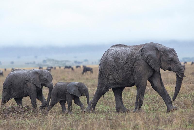 Serengeti_12_2013_Elpephant_5_FH0T8581.jpg