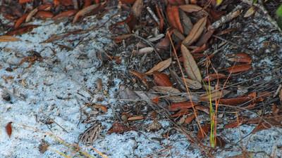 sand live oak