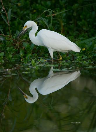 Snowy Egret (<em>Egretta thula</em>)