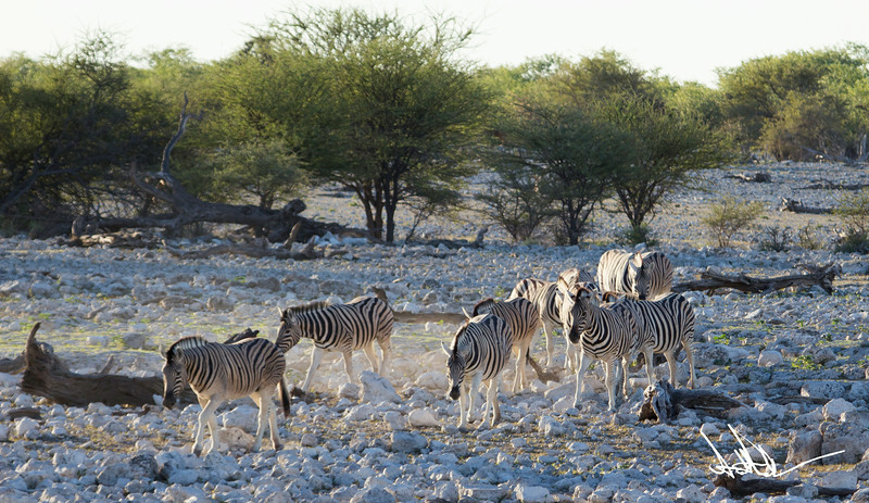 ZebraS-6.jpg