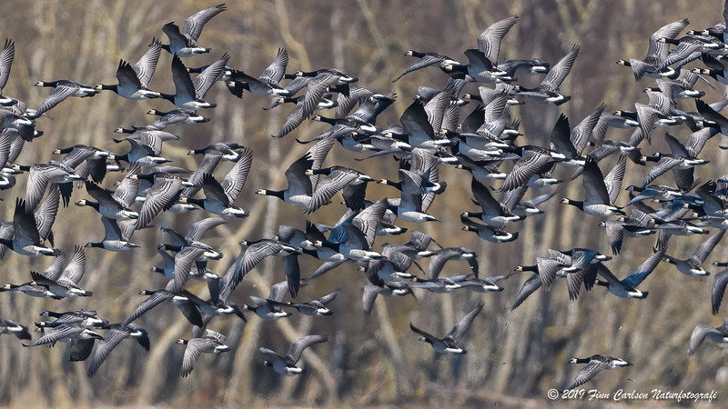 Bramgås - Branta leucopsis - Barnacle goose