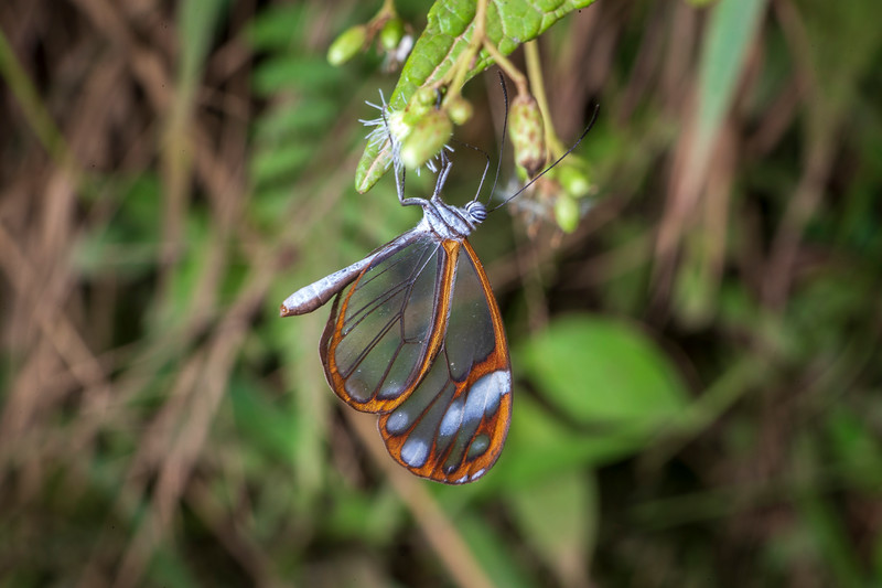 Manu is the most biodiverse place in the world for butterflies. Glasswinged butterfly.