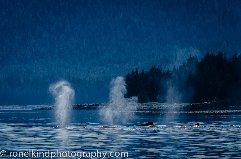 Humpback whales surface feeding.